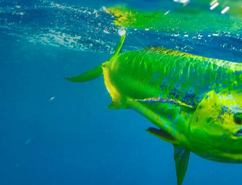 How to catch Mahi in the Florida Keys